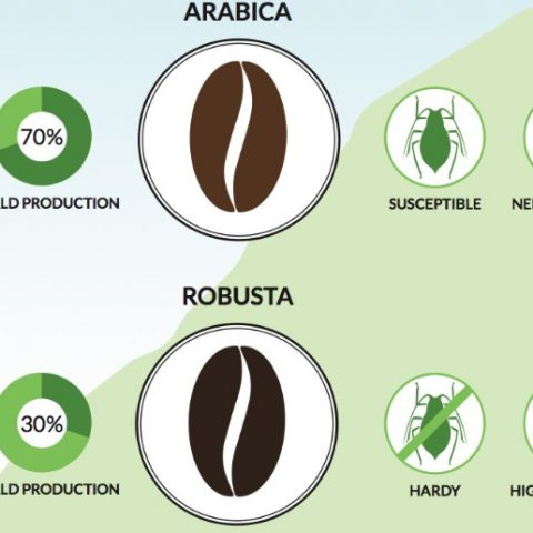 Arabica vs Robusta Coffee Beans: Here's Everything you Need to Know!