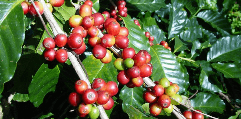 arabica red coffee berries